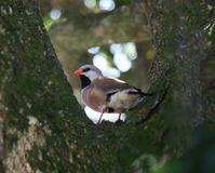 Shaftail Finch Stock Photos