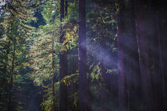 Shafts of light between trees in the Sol Duc Rainforest. Shafts of light shining between tall trees in the middle of Sol Duc Rainforest in Olympic National Park Royalty Free Stock Image