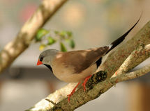 Shafttail finch Royalty Free Stock Images