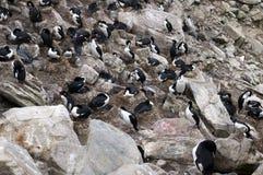 Shag гнездиться и южные пингвины rockhopper в rookery стоковые изображения rf