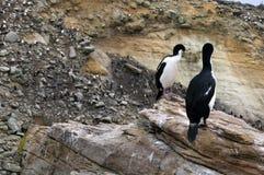 Shag с rookery альбатроса и пингвина в предпосылке стоковое фото rf
