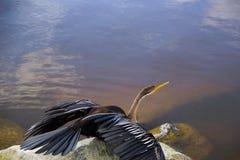 Shag ξεραίνοντας φτερά στο βράχο Στοκ Φωτογραφία