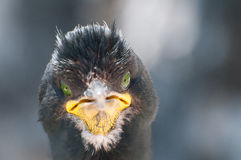 Shag Bird Close Up Stock Photo