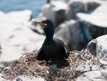 Shag Bird nesting Stock Photos