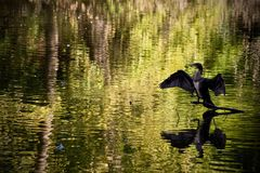 Shag drying its wings Stock Photo
