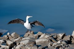 Shag drying the wings Royalty Free Stock Photography