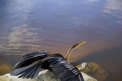 Shag drying wings on rock. Shag / Darter drying wings on rock overlooking water in brown tones Stock Photography