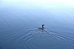 Shag Duck Stock Photo