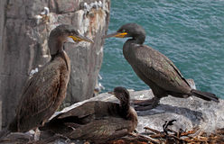 Shag Family. Male and female Shags with their offspring on the Farne Islands in Northumberland, England Royalty Free Stock Photo