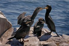 Shag Family Royalty Free Stock Image