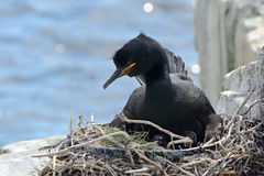 Shag, Farne Islands Nature Reserve, England Royalty Free Stock Photo