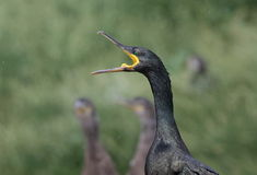 Shag Stock Photography