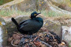 Shag on nest Stock Photography