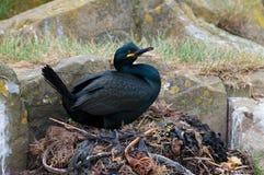 Shag on nest Stock Photography