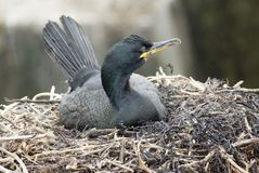 Shag on Nest. Looking to the left stock photo