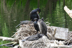 Shag nest. With lot of dungs Stock Photography