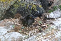 Shag on nest (Phalacrocorax aristotelis). This picture shows one of the sea-birds that are called shags at it's nest which is situated on a rock face. The Royalty Free Stock Image