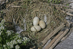 Shag, Phalacrocorax aristatelis Royalty Free Stock Image
