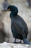 Shag ( Phalacrocorax aristotelis) Stock Photography