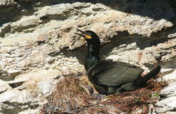 A Shag Phalacrocorax aristotelis sitting on its nest on the cliffs in Orkney, Scotland. Its baby can be see under it. Royalty Free Stock Photos