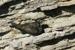 A shag phalacrocorax aristotelis sitting on the side of a cliff. Royalty Free Stock Photos