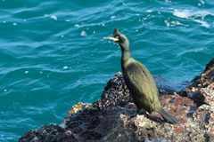Shag on a rock on Sea Shore Royalty Free Stock Photography