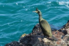Shag on a rock Royalty Free Stock Image