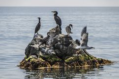 Shag on a rock Stock Image