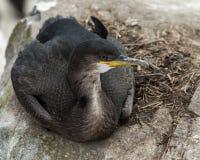 Shag. Seabird at the Farne Islands. Northumberland. England Stock Image