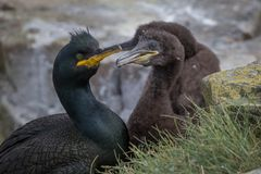 Shag with young Stock Photography
