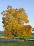 Shagbark hickory royaltyfria foton