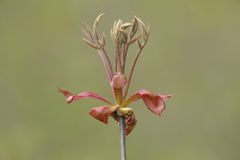 Shagbark Hickory Leaves Emerging in Spring Royalty Free Stock Photo