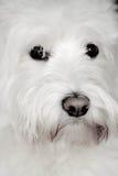 Shaggy белая собака смотрит милой Стоковые Фотографии RF