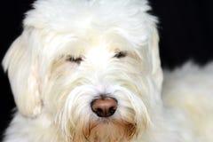 Shaggy белая собака смотрит милой Стоковое Изображение