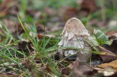 Shaggy гриб чернильного гриба в траве Стоковые Фотографии RF
