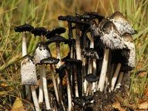 Shaggy крышка чернил, comatus чернильного гриба стоковое изображение rf