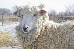 Shaggy овцы Стоковое Изображение