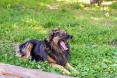 Shaggy собака лежит на зеленой траве на солнечный день Собака зевает r стоковое фото rf