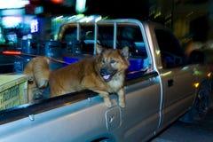 Shaggy собака позади грузового пикапа Стоковое Изображение RF
