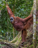 Shaggy adult orangutan demonstrates its strength and flexibility through the trees and looking to the side, Bohorok, Indonesia Royalty Free Stock Images