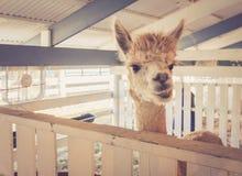 Shaggy Alpaca faz expressões engraçadas na feira de condado foto de stock royalty free