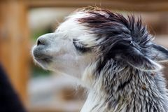 Shaggy alpaca in the zoo. At spring Royalty Free Stock Images