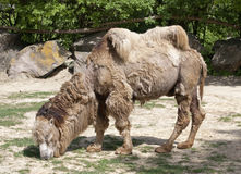 Shaggy bactrian camel Stock Images