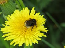 Shaggy bee on a yellow dandelion stock images