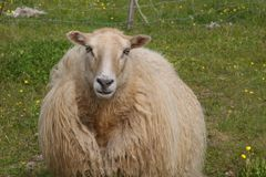 Shaggy Beige Icelandic Sheep i äng Arkivfoto