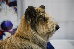 Shaggy Berger Picard Dog. Very shaggy berger picard dog profile royalty free stock photography