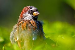 Windswept shaggy male sparrow bird sitting on top of a hedge in a park in the sun Stock Image