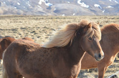 Shaggy Blonde Icelandic Horse in Island Stockbild