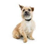Shaggy Border Terrier Crossbreed Dog Stock Photo