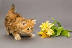 Shaggy British-Kätzchen und -blume Lizenzfreie Stockfotografie